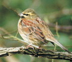 Cirl Bunting perched on a branch